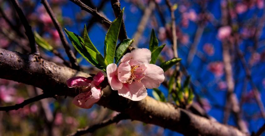 春季盛开的桃花