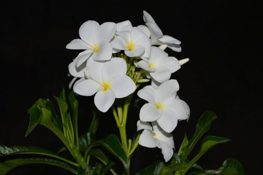 戟叶缅栀子花