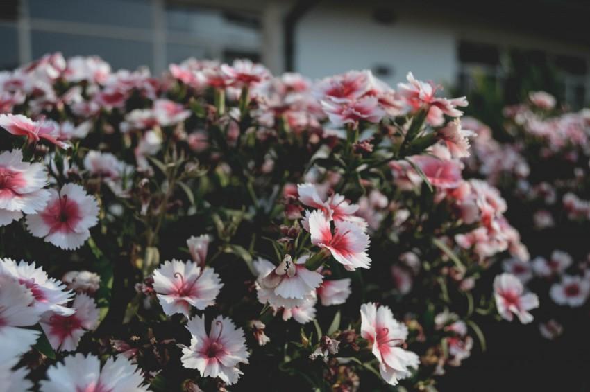 盛开的石竹花 - 康乃馨