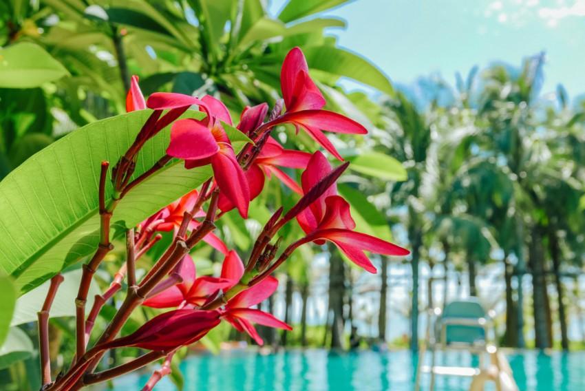 泳池边的亚热带植物红鸡蛋花