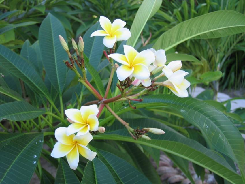 Frangipani Plant Blossom 鸡蛋花