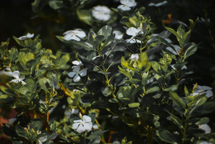 大片的白色长春花
