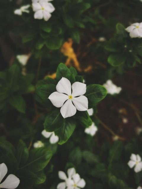 白色长春花